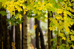 kanadyjski klonów liściach Fotografia Royalty Free