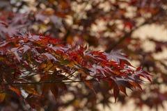 kanadyjski klonów liściach Zdjęcia Royalty Free