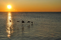 kanadyjski latający gąsek sylwetek wschód słońca Zdjęcie Royalty Free