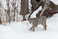 Kanadyjski rysia rysia canadensis Podkrada się Z lewej strony Przez śniegu obraz stock