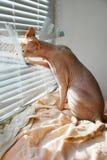 kanadyjski sfinks Obrazy Stock