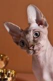 Kanadyjski sfinks Zdjęcie Royalty Free