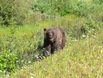 Kanadyjski Skalistych gór mama niedźwiedź zdjęcie stock