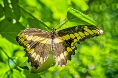 Kanadyjski Tygrysi Swallowtail motyl zdjęcie royalty free