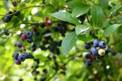 Kanadyjskie czarne jagody Zdjęcie Royalty Free