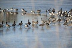 Kanadyjskie gąski odpoczywa na lodowatym jeziorze przy otwarciem rozjaśniać wodę fotografia royalty free