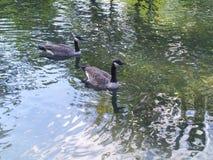 Kanadyjskie kaczki zdjęcie stock