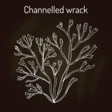 Kanaliserad wrackpelvetiacanaliculata, havsväxt stock illustrationer