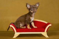 kanapy chihuahua śliczna szczeniaka kanapa Obrazy Stock