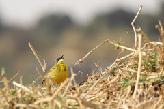 Kanarek przy gniazdeczkiem Obraz Stock