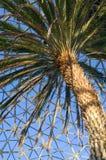 Kanariefågelön daterar palmträdet på drivhuset Royaltyfri Fotografi