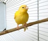 kanariefågel Royaltyfria Bilder