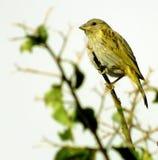 Kanariefågel av den jordSicalis flaveolaen Royaltyfri Bild