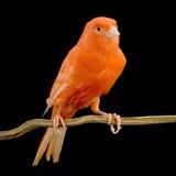 kanariefågel dess perchred Royaltyfri Foto