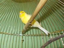 Kanariefågel i en bur Arkivfoto