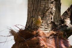 Kanariefågel som samlar material till redet Arkivbilder