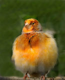 Kanariefågelfågel Royaltyfria Bilder