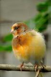 Kanariefågelfågel Fotografering för Bildbyråer
