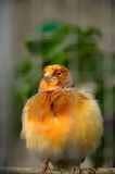 Kanariefågelfågel Arkivbild