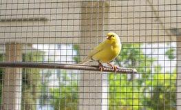 Kanariefågelfågel inom en bur av ståltrådar som sätta sig på en träpinne arkivfoto