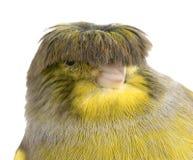 kanariefågelkrangloster Arkivbild