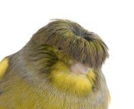 kanariefågelkrangloster Arkivbilder