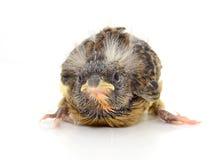 Kanariefågel Royaltyfria Foton