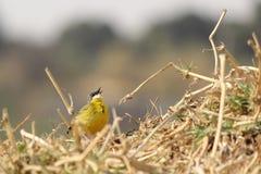 Kanariefågeln på bygga bo Fotografering för Bildbyråer