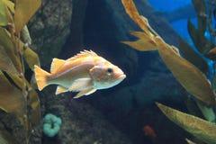 Kanariefågelrockfish Fotografering för Bildbyråer