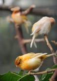 kanariefåglar arkivbilder