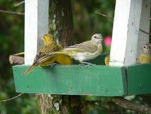 kanariefåglar Arkivfoton