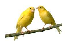 kanariefåglar Royaltyfri Foto