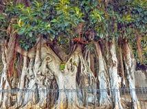 Kanariegom, Ficuselastica, op Tenerife met dikke luchtwortels die de grootte van een dikke boomboomstam zijn stock foto's