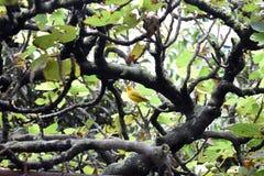 Kanarienvogel stockfoto