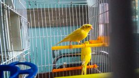Kanarienvogel stockbilder