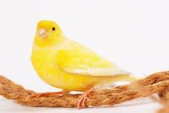 Kanarienvogel lizenzfreie stockbilder