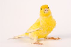 Kanarienvogel stockbild