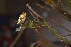 Kanarienvogel auf einem brench, welches die Kamera in einem allgemeinen Park betrachtet lizenzfreie stockbilder
