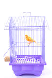 Kanarienvogel im Rahmen lizenzfreie stockbilder