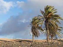 Kanariepalmen op de Canarische Eilanden Royalty-vrije Stock Foto's