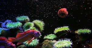 Kanarieschorpioenvis, sebastes pinniger, stock videobeelden