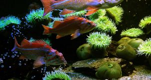Kanarieschorpioenvis, sebastes pinniger, stock footage
