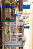 Kanarievogel in kooi Stock Foto