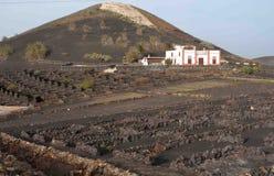 Kanarische Inseln des typischen Rebfeldes Stockbild
