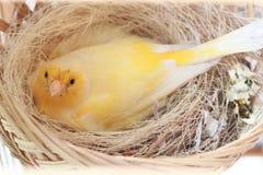 Kanarowego koloru żółtego gniazdeczka komes od Asia Zdjęcia Stock