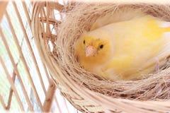 Kanarowego koloru żółtego gniazdeczka komes od Asia Obrazy Stock