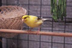 Kanarowego koloru żółtego gniazdeczka komes od Asia Zdjęcia Royalty Free