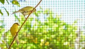Kanarowi ptaki wśrodku klatki wokoło brać lot obrazy royalty free
