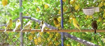 Kanarowi ptaki wśrodku klatki wokoło brać lot obraz stock