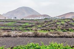 Kanarowi winogrona w popiółów polach Fotografia Stock